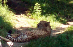 cheetah lounging